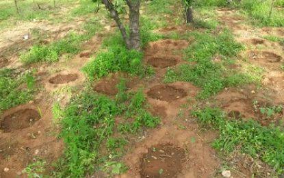 Cerca de dez mil pés de maconha foram erradicados no Sertão de Pernambuco